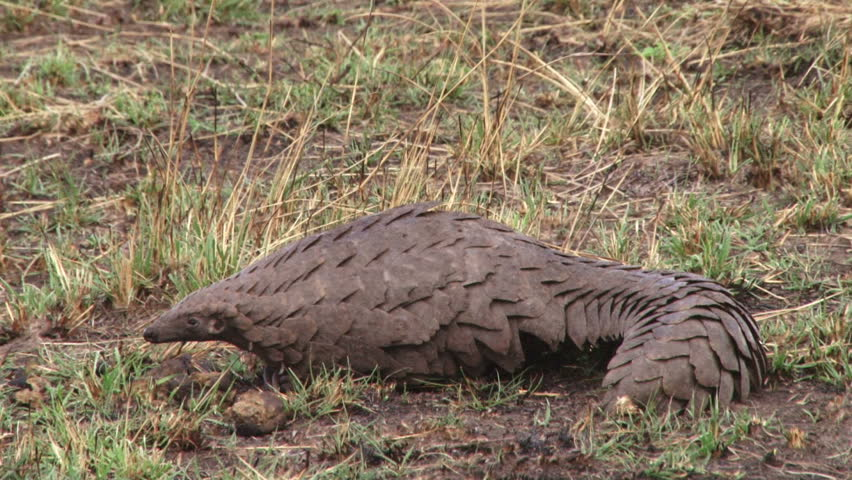 close up of a pangolin showing his claws