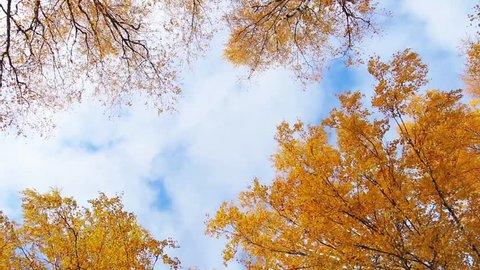 leaves autumn birch against the sky