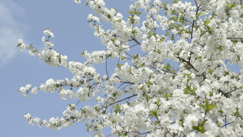 Branches Of White Cherry Tree Stock Footage Video 100 Royalty