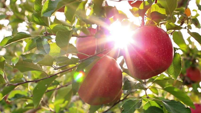 Farmer picking apples from the tree.The sun shines through the apple tree.
