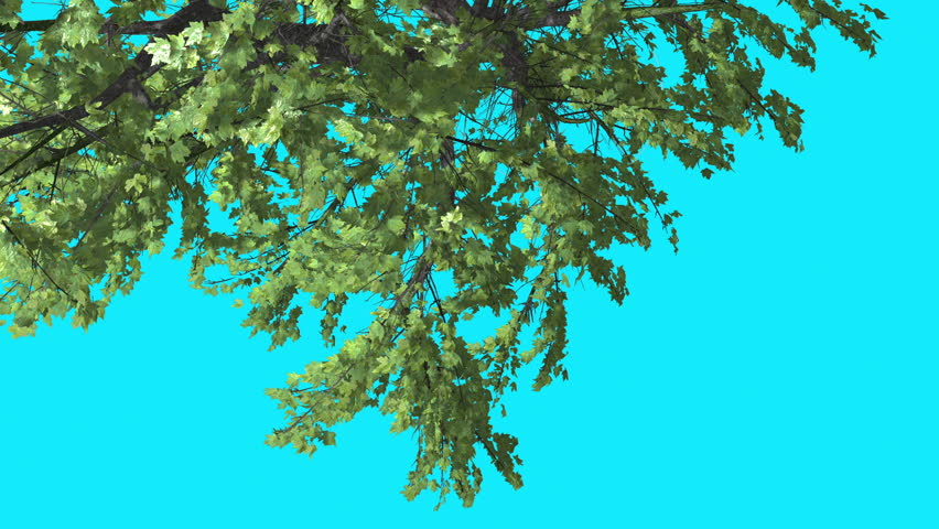 Top of Plitvice Maple, Tree Crown on Chroma Key Blue Screen, Turned Tree with Green Fluttering Leaves and Swaying Branches, Tree is Swaying at the Wind in Sunny Day, Sun Shines in Summer, Computer | Shutterstock HD Video #12574274