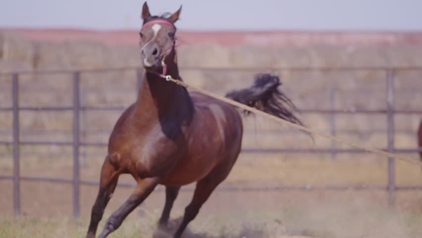 horse runs gallop in a circle, on a bridle #12622511