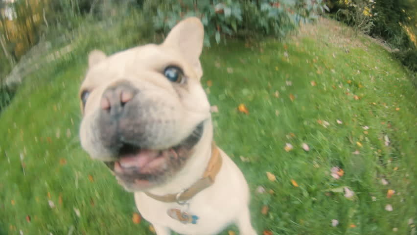 Cute little aggressive French Bulldog attacking camera POV