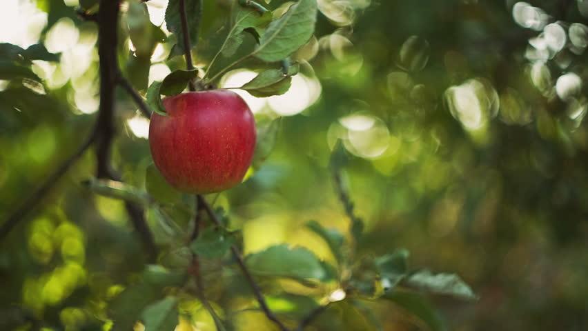 Woman Picks An Apple