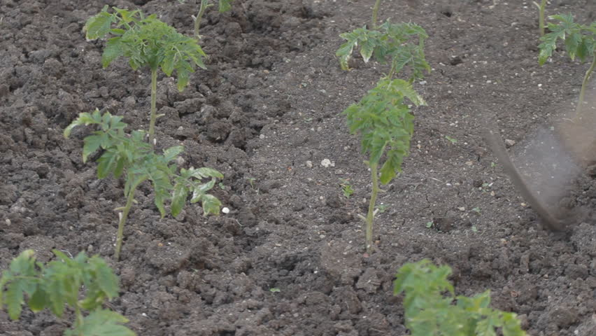 Unrecognizable person gardening, weeding tomato seedlings, planted in soil.