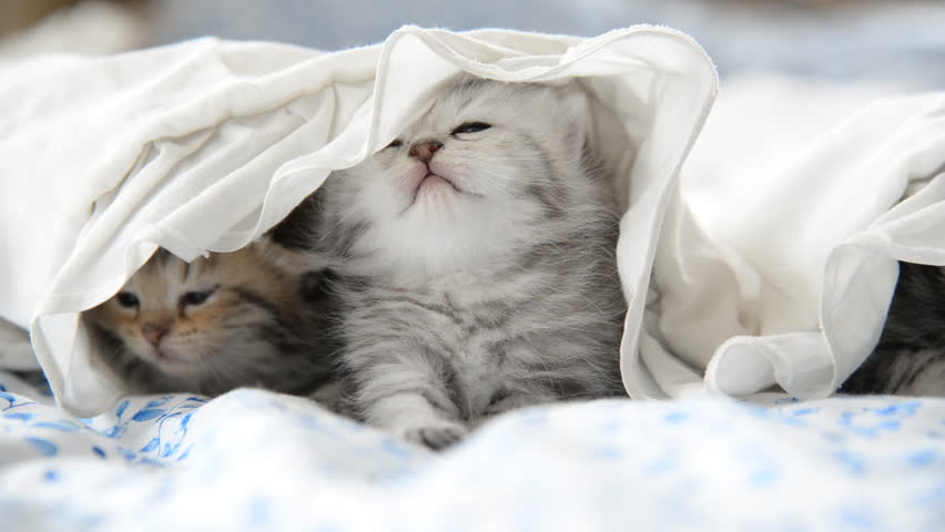 Cute tabby kittens playing under white blanket #12731654