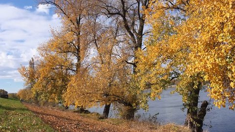 Autumn shedding of leaves from poplar treetops, beautiful season scenery with golden leaves falling on wind.