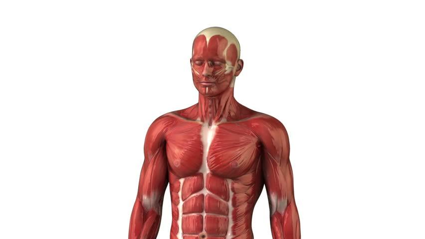 Biceps  Wikipedia