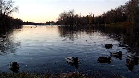 White Lake and rookery in Gatchina park. Duck (Anas platyrhynchos), Gulls (Larus michahellis, Larus argentatus), Coot (Fulica atra).