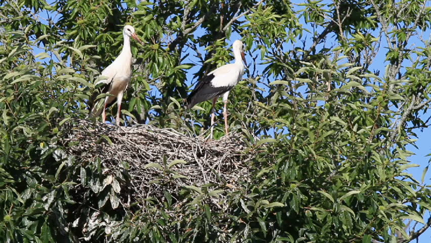 young storks taking off from nest on top of chestnut tree
