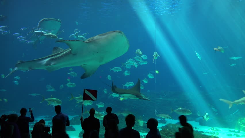 ATLANTA, GEORGIA - CIRCA 2015 - Visitors are silhouetted against a huge underwater tank filled with fish, sharks and manta rays at an aquarium. | Shutterstock HD Video #12950723