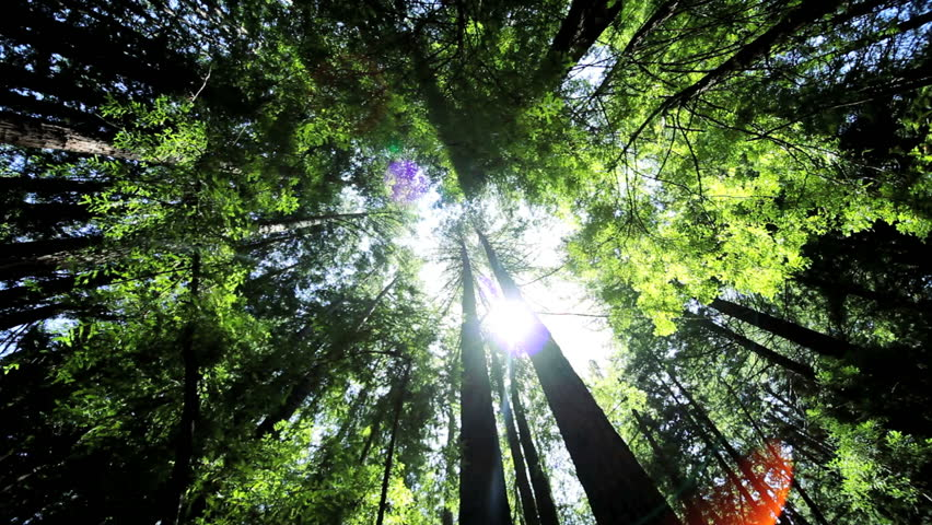 High angle view looking to the tops of giant redwood trees growing in a national park in California, USA | Shutterstock HD Video #1296430