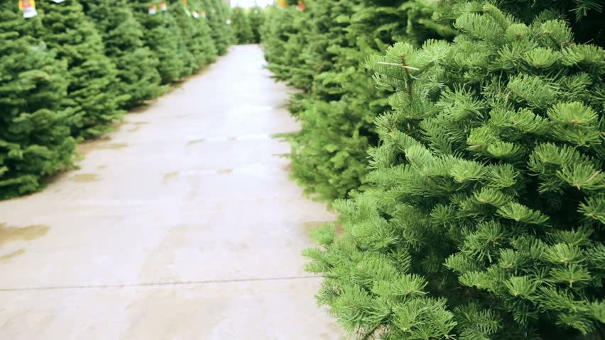 Beautiful fresh cut Christmas trees at Christmas tree farm. | Shutterstock HD Video #12991583