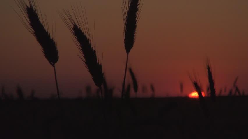 Wheat Ears Blurred Sunset Nightfall Cereal Field Red Sky Sundown Close Up View #12992111