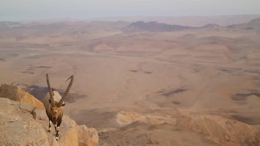 Wild mountain goat in the desert.