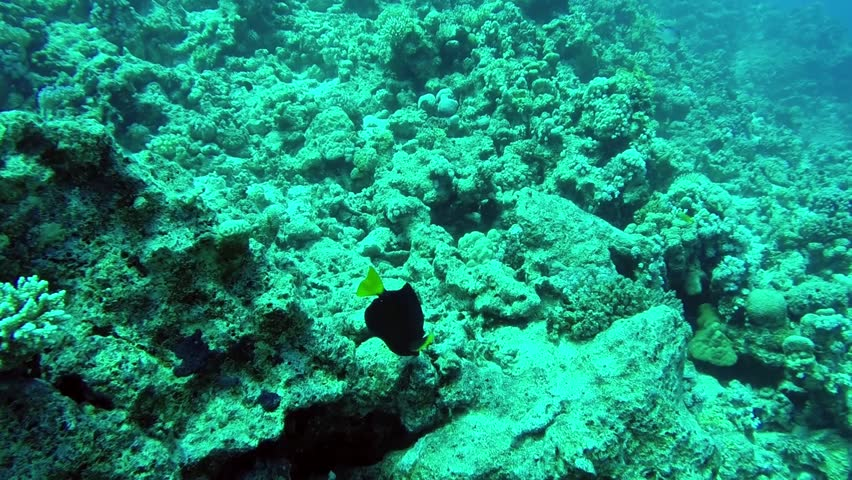 Blue Tang fish in the Red Sea, Egypt | Shutterstock HD Video #13035116