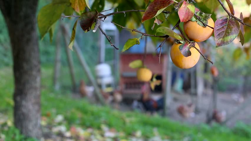 Goats and hens in a farm near a persimmon tree. Locked down. | Shutterstock HD Video #13066172