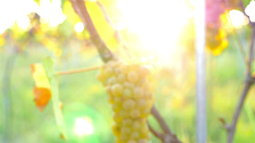 Ripe green organic grapes and grapevine leaves growing in vineyard, dolly | Shutterstock HD Video #13099124