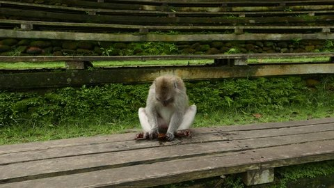 Monkey knocks stone on boarding, try to fold in leaf, investigate small glossy piece. Close up view on the animal, macaque busy with small black stone, trying to discover item or get confused
