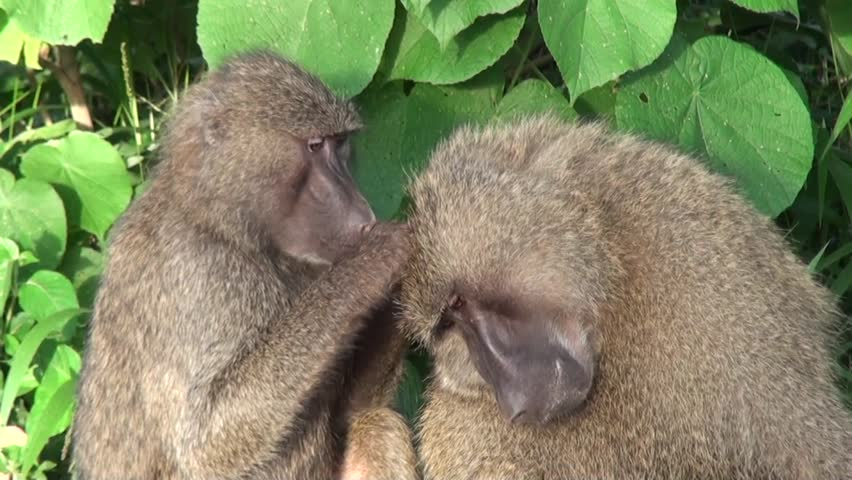 Two baboons are taking care of each other. Safari in Tanzania  | Shutterstock HD Video #13199339