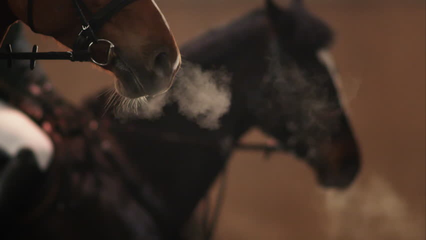 Horse breathes heavily. Bay horse with clouds of steam from breath.