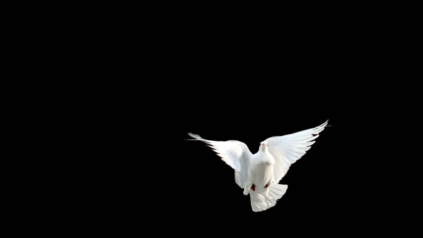 Dove flying on black background in slow motion