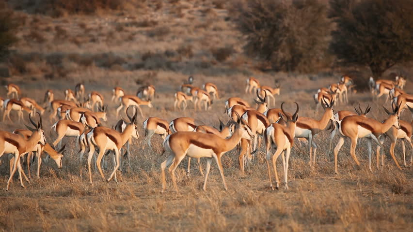 Large herd of springbok antelopes (Antidorcas marsupialis) walking over the plains, Kalahari desert, South Africa