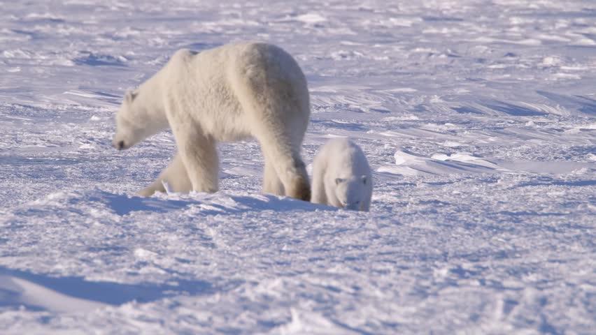Polar Bear Walking Through The Arctic v.2-5