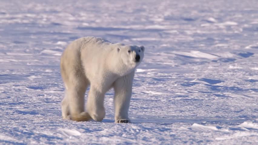 Polar Bear Walking Through The Arctic v.2-8