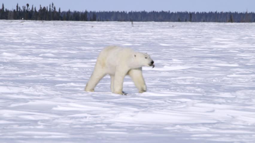 Polar Bear Walking Through The Arctic v.1-4