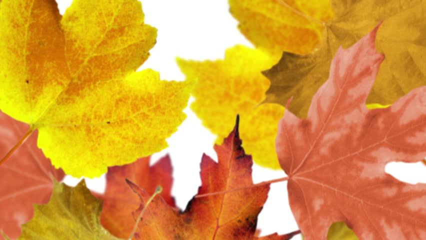 Autumn leaves background. Loop