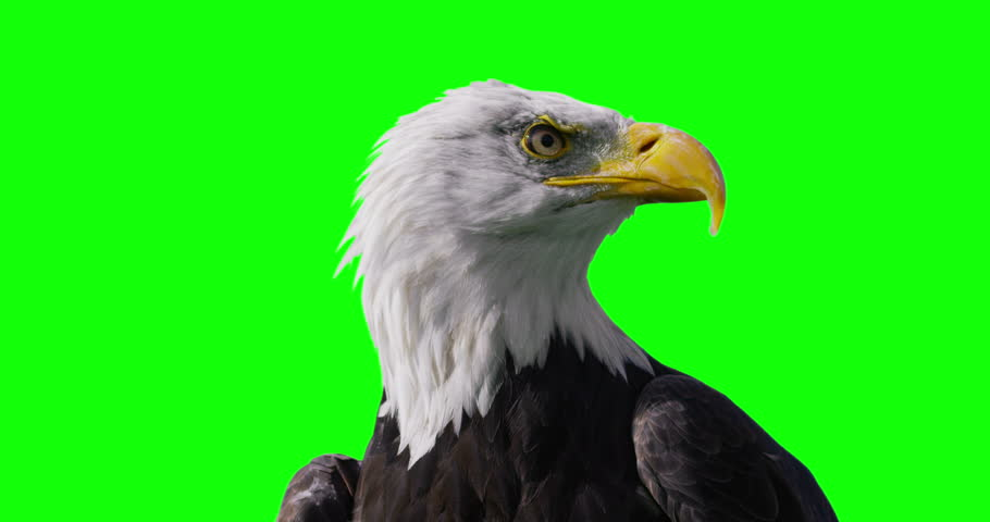 4K Close up of American Bald Eagle against green screen background. Shot on RED Epic. #13371647
