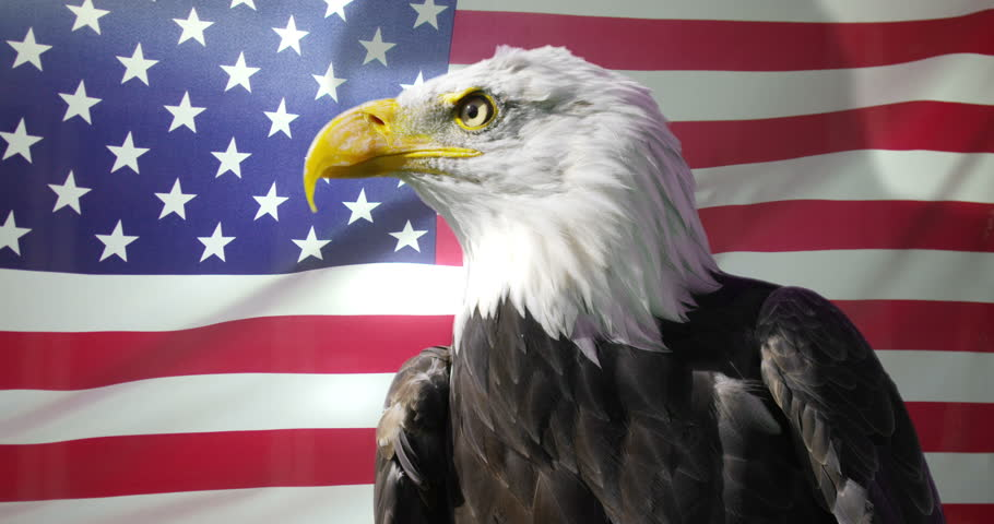 4K Close up of American Bald Eagle against animated background of American flag waving in the wind. Shot on RED Epic. #13371719