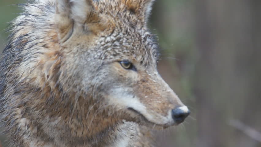 Coyote (Canis latrans) alpha male showing signs of aggression and agitation.