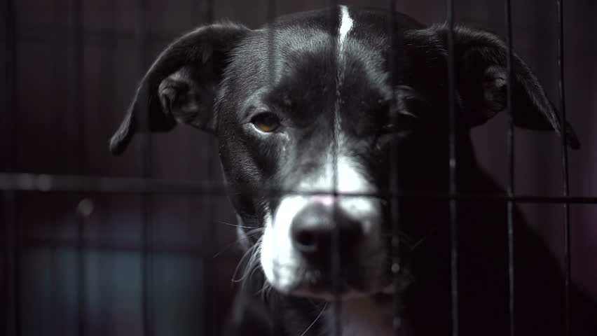 A dog sadly peers out of a cage. The scene is dark with slight hints of color. Footage was shot in slow motion. Would be a great accompaniment to a PSA. Dog is a Pit Bull/Labrador/? mix.