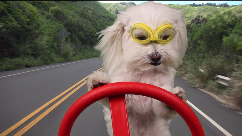 Dog Driving, Adorable dog on vacation wears goggles, drives on road that cuts through lush, tropical island vegetation. 1080p    Shutterstock HD Video #13445603