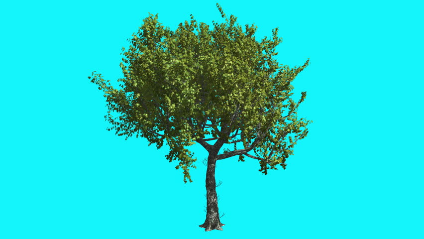 Red Oak Thin Tree with Green Leaves on Chroma Key, Tree on Alfa Channel, Tree on Blue Screen, Crown with Leaves is Swaying at the Wind in summer, Computer Generated Animation Made in Studio | Shutterstock HD Video #13464533