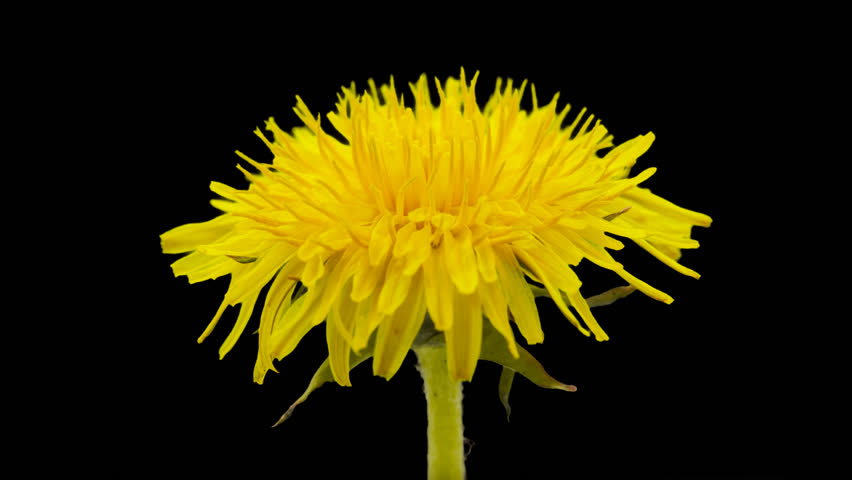 Dandelion flower timelapse isolated, encoded with photo png, transparent background/Dandelion flower cut out timelapse #13464572