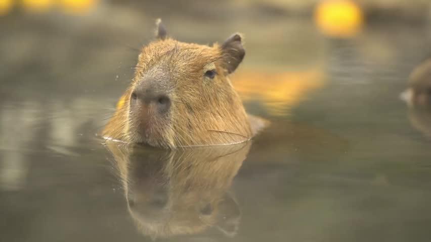 Capybara, Hydrochoerus hydrochaeris in hot citron bath. | Shutterstock HD Video #13471748