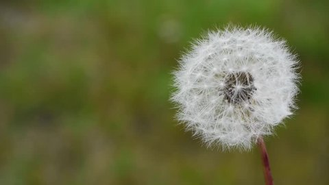 a blowball or dandelion becomes blown, all blossom particles fly away, slow motion