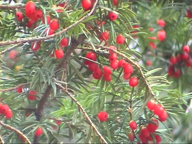 Pine Tree With Red Berries Stock Footage Video 100 Royalty
