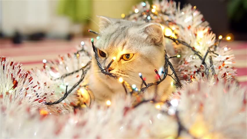 Scottish fold cat with christmas garland and tinsel 2