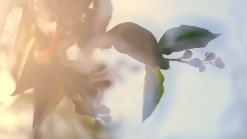 Glittering nature panoramic scene of flowering jasmine branches with gleamy effect at sunset light on blue sky background. Close up view of garden flowers. Shallow dof. Slow motion full HD 1920x1080