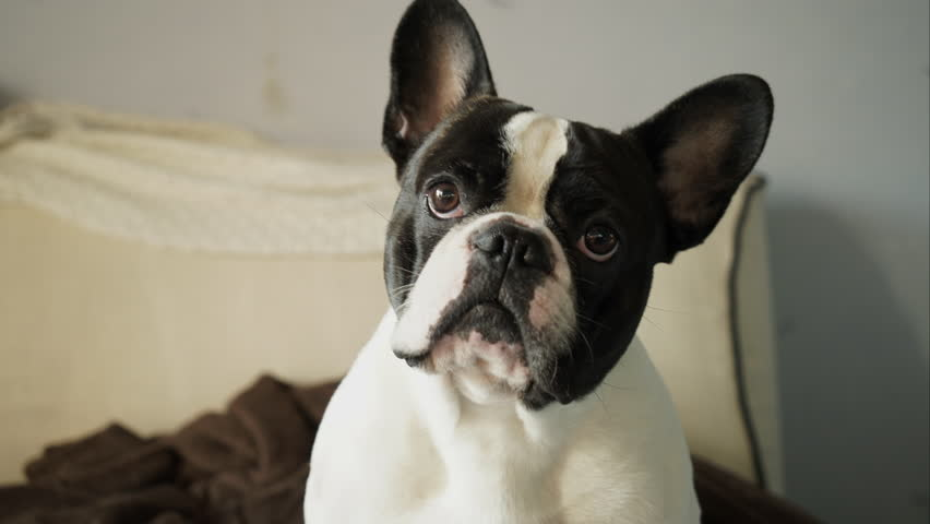 French bulldog looking closely at the camera | Shutterstock HD Video #13703192