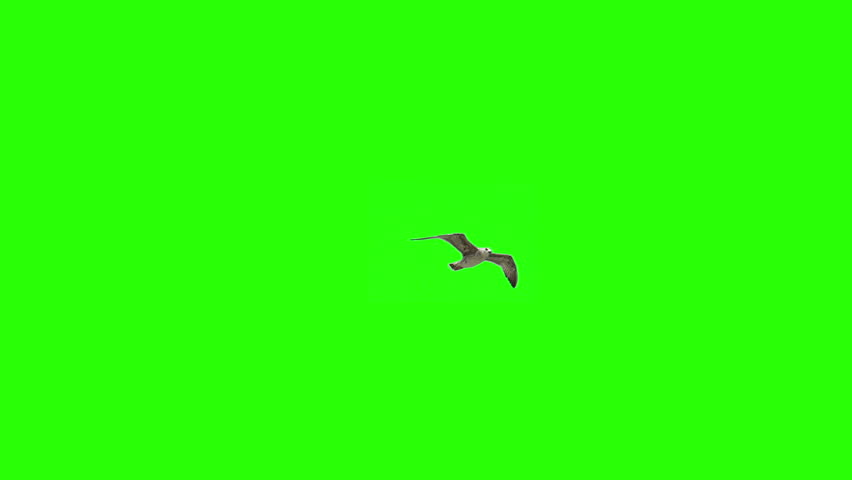 Lonely Bird On Chroma Key | Shutterstock HD Video #13766840