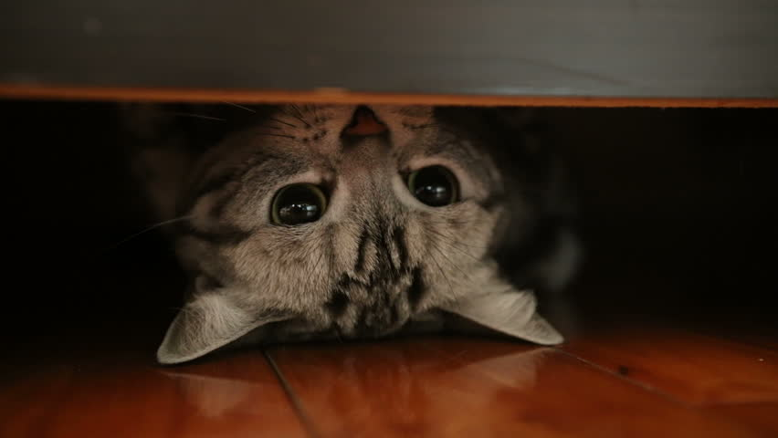American Short hair cat #13771733