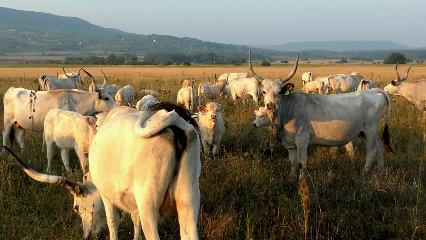 4K footage of Hungarian Grey Cattles or Steppe Cattles (protected animal as National symbol of Hungary) grazing in Hortobagy National Park, Hungary | Shutterstock HD Video #13892834