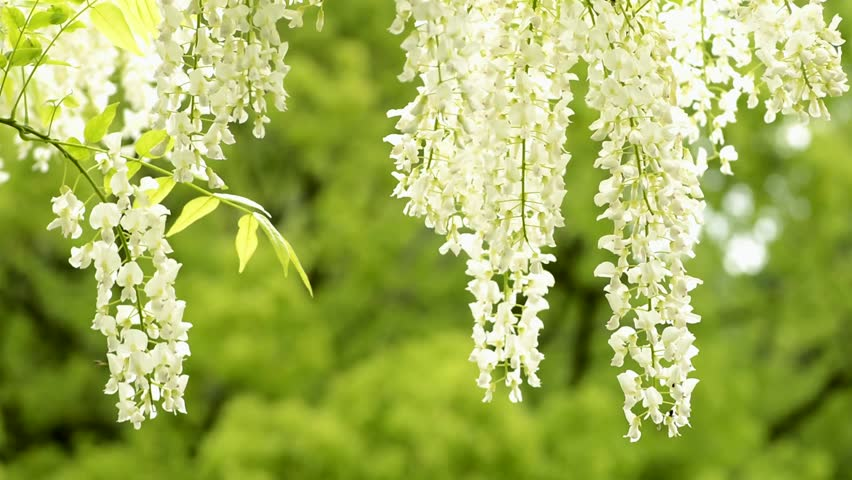 White Wisteria Flowers In Front Stock Footage Video 100 Royalty