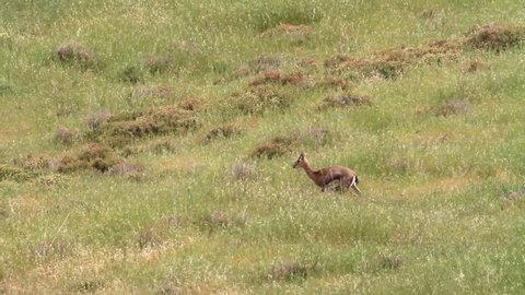 Israeli mountain gazelle in the field