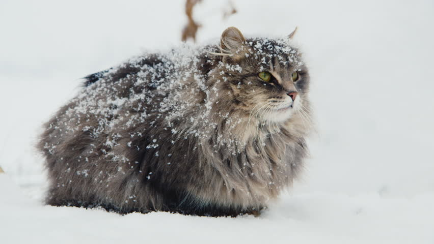 Covered With Snow Cat Hissing Stock Footage Video 100 Royalty Free 14095064 Shutterstock